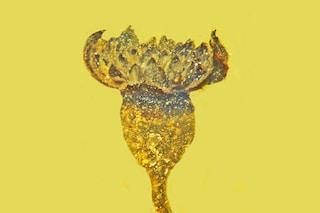 Magnifico fiore fossile di 100 milioni di anni scoperto in un blocco d'ambra