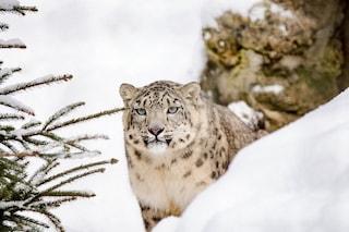 Tre leopardi delle nevi positivi al coronavirus: contagiati dal custode di uno zoo