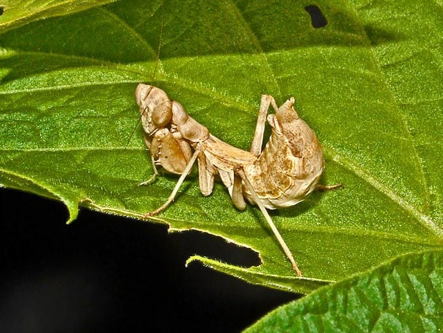 Una specie di mantide nana. Credit: Hectonichus