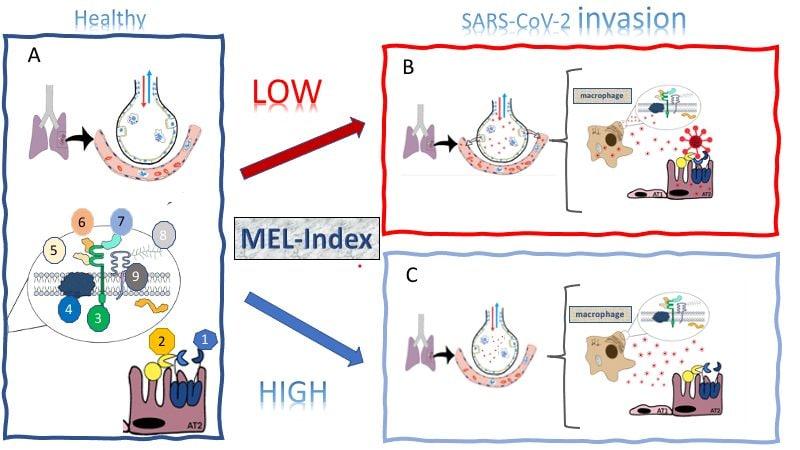 La melatonina polmonare modula l'infezione da Sars–Cov–2. Livelli più bassi (Mel–Index) corrispondono a una maggiore sintesi di proteine coinvolte nell'ingresso del virus nelle cellule immunitarie. Livelli più alti non permettono al virus di infettare efficacemente le cellule / Melatonin Research