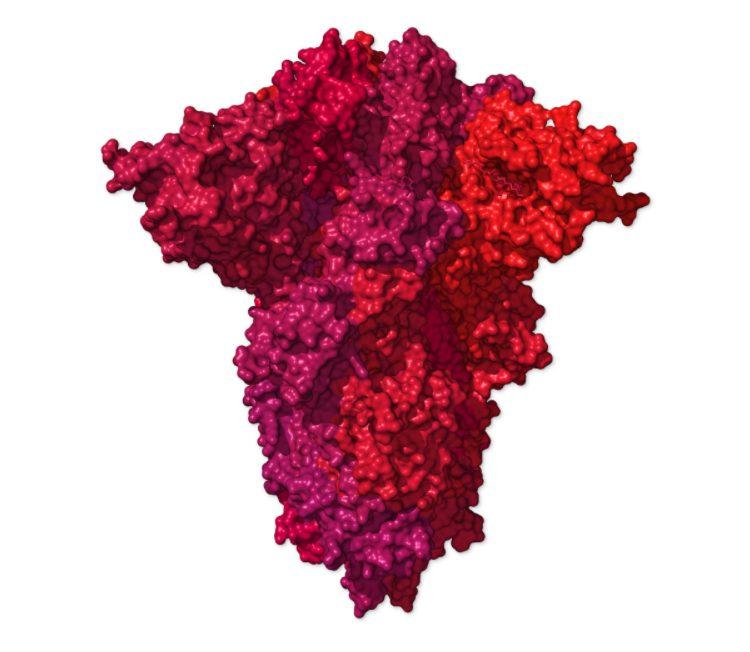 La proteina Spike è un trimero, costituta da una proteina associata ad altre due