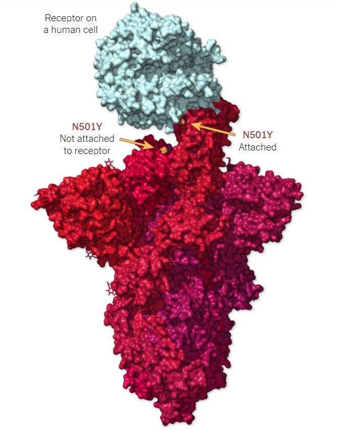 La proteina Spike legata al recettore cellulare ACE2