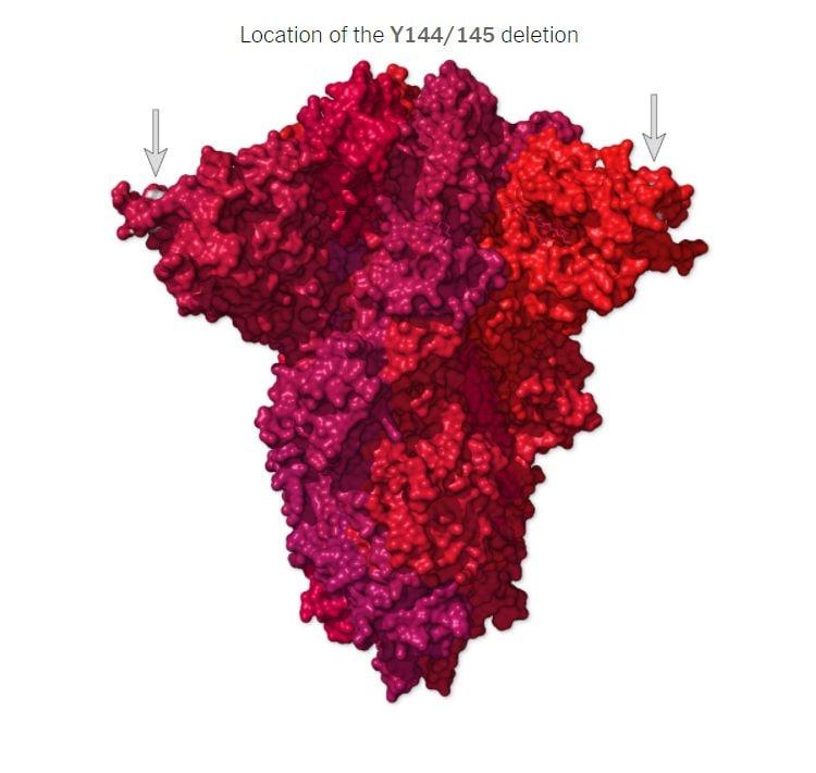 La posizione della delezione Y144/145 sulla proteina Spike
