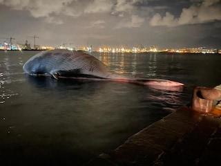 """La balena morta a Sorrento è la più grande mai """"spiaggiata"""" nel Mediterraneo: sparito il piccolo"""