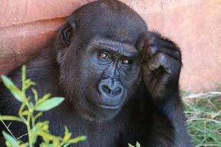 Primi casi di COVID nelle grandi scimmie: infettati i gorilla di uno zoo