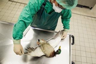 Casi di influenza aviaria H5N8 in un allevamento romagnolo: cosa sappiamo e quali sono i rischi