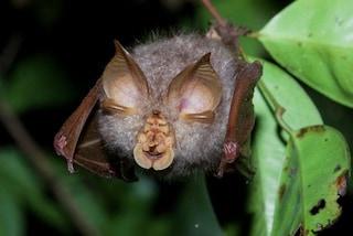 Anticorpi neutralizzanti contro il coronavirus scoperti in pipistrelli e pangolini della Thailandia