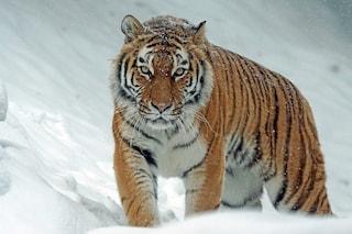 """Tigri e leoni positivi al COVID in Svezia, soppresso un esemplare: """"Non avrebbe superato malattia"""""""