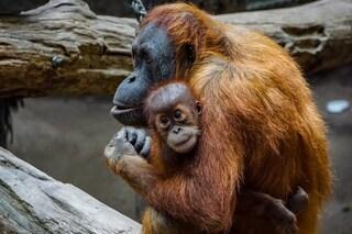 Vaccino anti Covid a oranghi e bonobo di uno zoo: sono i primi animali a ricevere le dosi