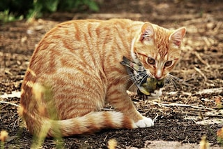 Il tuo gatto è un killer: dovresti tenerlo a casa