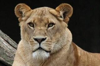 Una leonessa di 9 anni è morta in uno zoo indiano dopo aver contratto la Covid