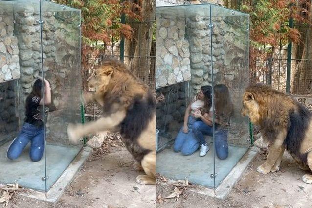 """Leone confuso e umiliato da una nuova """"attrazione"""" installata in uno zoo: le vergognose immagini"""