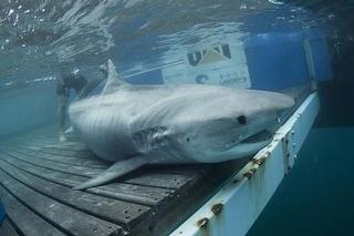 Mary Lee, lo squalo bianco star del web: un'app permette di seguire gli spostamenti