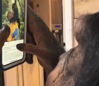 Questo scimpanzé usa Instagram meglio degli umani (ma agli animalisti non piace)