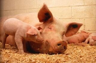 In Cina arriva il riconoscimento facciale per maiali: li salverà dall'influenza