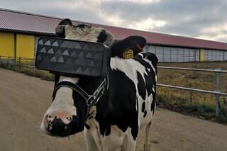 Qualcuno sta mettendo visori per la realtà virtuale alle mucche