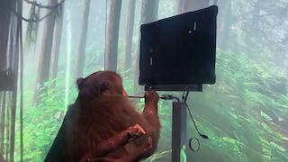 Questa scimmia gioca a Pong col pensiero: ha il chip di Elon Musk nel cervello