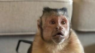 È morto Georgie Boy, la scimmietta idolo di TikTok che ha conquistato milioni di fan