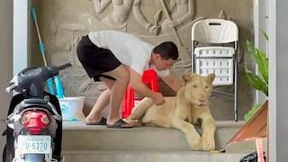 Fa un tiktok con un leone in casa: la polizia gli sequestra l'animale